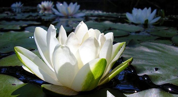 Fleur nationale et possibilité d'une tiare