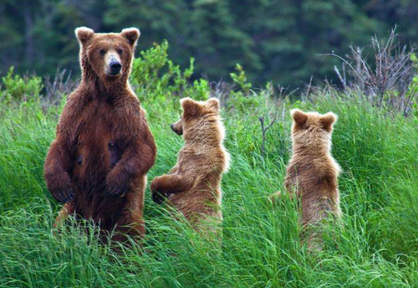 great-bear-foret-colombie-britannique-ours