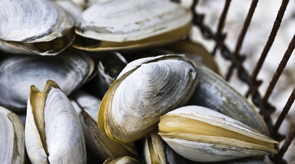 palourde-royale-colombie-britannique-mollusque-recette