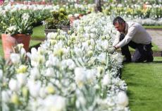 tulipes-blanches-jardin-diana-anniversaire